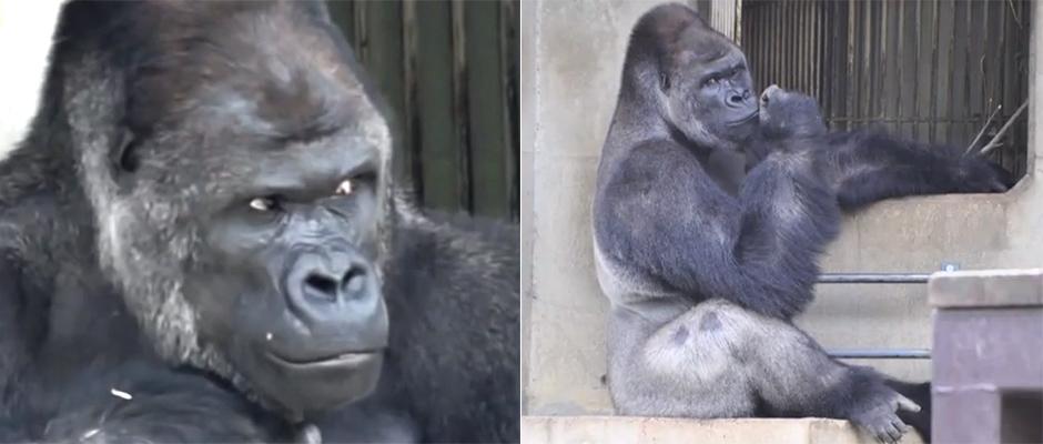 GorillaGalan