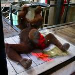 OrangutanKinect01