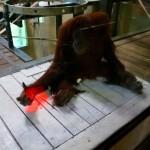 OrangutanKinect03